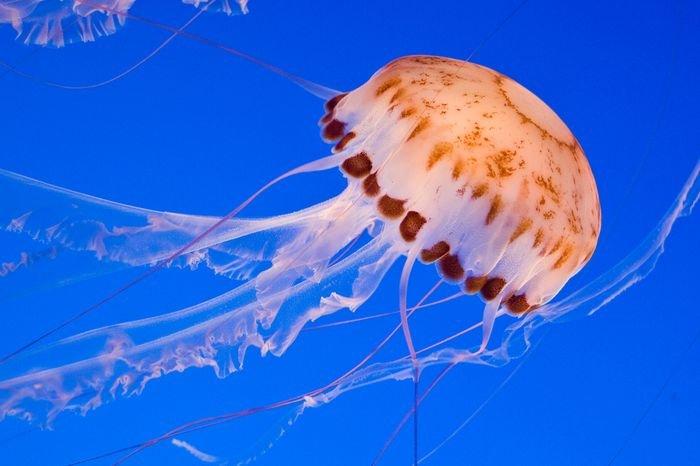 Медуза в Черном море