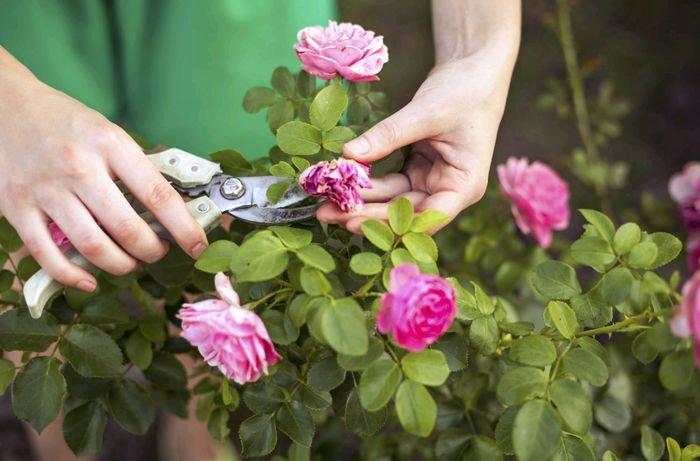 Обрезка роз