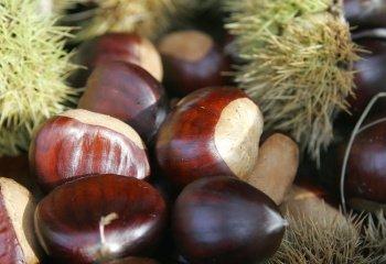 Каштан: полезные свойства, состав и лечение орехом каштан