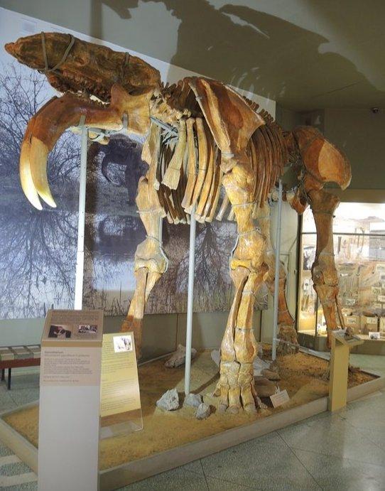 Скелет динотерия в палеонтологическом музее г. Азова