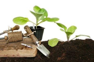 Как вырастить дома рассаду капусты: залог успеха